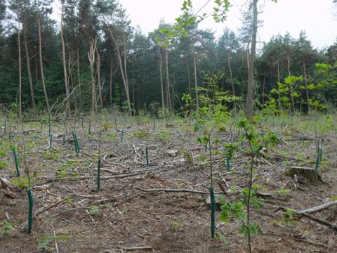 naaldbomen maken plaats voor loofbomen