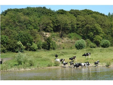 koeien langs de Nederrijn
